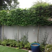 pleached carpinus screening Rathmines