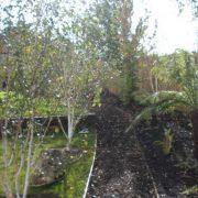 Birch Trees Rathfarnham